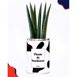 "Plante ""Plante de bombasse"""
